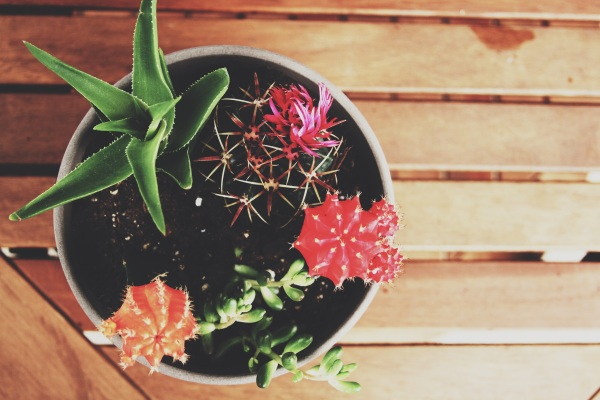 tayler cactus